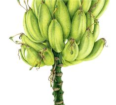 Anne Girling – The Society of Botanical Artists