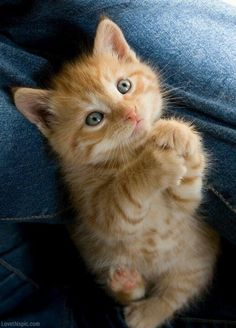 Begging Kitty cute animals sweet cat orange pet kitten tabby beg