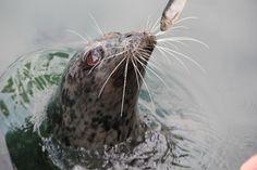 Seal at Victoria British Columbia.