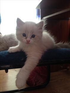 Mi ragdollito Animals, Pets, Gatos, Animales, Animaux, Animal, Animais