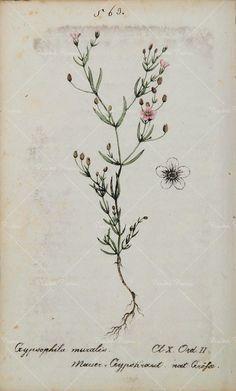 1826 Gypsophila Muralis Baby's Breath Botanical Print.