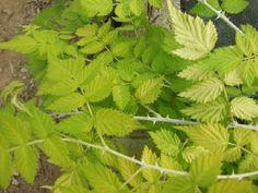 Rubus cockburnianus Goldenvale AGM South Devon, All Plants, Birch, Seaside, Coastal, Herbs, Beach, Herb, Coast