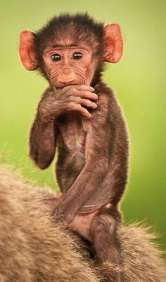 Think this baby monkey will ever grow into his ears? LOL