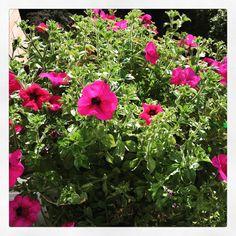 Chi ha detto che le surfinie sono annuali?? Ecco la mia pianta che inizia il terzo anno di fioritura!