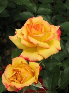 'Charleston' | Floribunda rose, @ T. Kiya