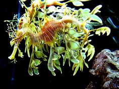 Sea dragon. What the yes