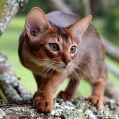 "From ""She is my little princess Kenya, a ruddy girl abyssinian, she looks very wild! She is 4 months old. Pretty Cats, Beautiful Cats, Animals Beautiful, Warrior Cats, Cute Cats And Kittens, Cool Cats, Animals And Pets, Cute Animals, Cat Pose"