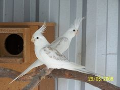 Whiteface Cinnamon pearl pied Cockatiels