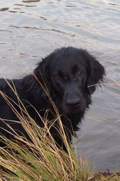 My beautiful flatcoat retriever Duke