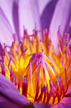 ~~Just Purple ~ detail of a water lily by Michelle Meenawong~~