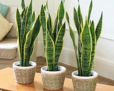 Sansevieria trifasciata is also commonly called the snake plant or the mother in law's tongue. It is a very tolerant indoor plant that it is easy to care Sansevieria Trifasciata, Sansevieria Plant, Mother In Law Tongue, Decoration Plante, Best Indoor Plants, Plant Needs, Planting Seeds, Houseplants, Cactus Plants