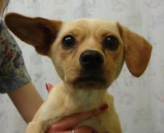 Trinity is an adoptable Chihuahua Dog in Puyallup, WA. TRINITY IS A NEW MOM. SHE HAS THREE PUPPIES. THEY WERE BORN 11-30-2012. THE PUPPIES WILL BE 8 WEEKS OLD 01-25-2013. MOM AND PUPPIES ARE AVAILABL...