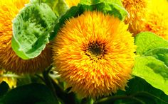 The cheerful sunflower is the focus of new innovation with even pollen-free   varieties being created