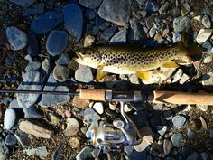 Brown trout at Leizaran river in the Basque Country