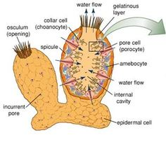 Sponge anatomy coloring and information sheet biology logic stage more information ccuart