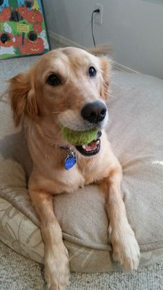 This is Maggie - 6 yrs. She is spayed, current on vaccinations, potty and crate trained, good with dogs, cats and kids over age 10 yrs. Walks ok on a gentle leader. Golden Bond Rescue of Oregon. - http://goldenbondrescue.com/maggie-2515/