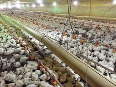 Jamie Oliver, Alex Atala e os frangos: o real cenário da criação de aves no Brasil | Gastrolândia – por Ailin Aleixo
