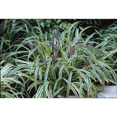 Silvery Sunproof Lilyturf Monrovia