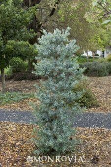 Icee Blue® Yellow-Wood (Podocarpus elongatus 'Monmal')