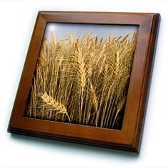 "Agriculture, White wheat, Palouse, Washington - US48 GPR0052 - Greg Probst - 8x8 Framed Tile by 3dRose. $22.99. Dimensions: 8"" H x 8"" W x 1/2"" D. Keyhole in the back of frame allows for easy hanging.. Cherry Finish. Solid wood frame. Inset high gloss 6"" x 6"" ceramic tile.. Agriculture, White wheat, Palouse, Washington - US48 GPR0052 - Greg Probst Framed Tile is 8"" x 8"" with a 6"" x 6"" high gloss inset ceramic tile, surrounded by a solid wood frame with pre-drilled keyhole for ea..."