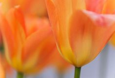 Tulip Macro Photos - In Honor of the Queen Day by Jenny Rainbow Tulips Flowers, Orange Flowers, Orange Color, Art Prints For Home, Fine Art Prints, Tulips Holland, Dutch Tulip, Rainbow Images, Party Queen