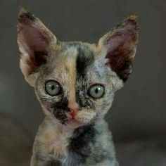 best pictures ideas of devon rex kitten - most affectionate cat breeds I Love Cats, Crazy Cats, Cool Cats, Cute Kittens, Pretty Cats, Beautiful Cats, Chat Bizarre, Curly Haired Cat, Gato Calico