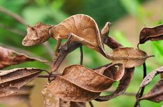 A Fantastic Leaf-tailed Gecko, also known as a Satanic Leaf-tailed Gecko blends in perfectly with brown leaves in Andasibe-Mantadia National Park in Madagascar