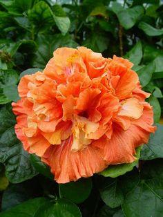 Magic hibiscus. 20 cm!!!