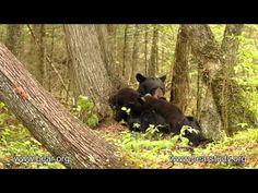 June 16, 2013 - June the Black Bear - Nursing cubs