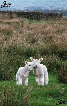 Lambs - I hope when I die, Heaven is full of them!