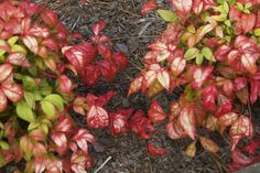Nandina.  Not for the faint hearted.