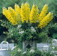 Legend Yellow Early flowering bright yellow flowers on sturdy stems, ideal for cut flower on its own or put with foliage and gypsophila to make a stunning table decoration. Cut Flowers, Yellow Flowers, Antirrhinum, Gypsophila, Flower Seeds, Orange Yellow, Gardening, Plants, Lawn And Garden