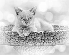 """""""Kitty Comfort"""" by Nikolyn McDonald Photography is an outdoor portrait of a sweet kitten lying in a birdbath and presented in black and white. cat,pets,animals,domestic,feline,playful,close up,close-up,closeup,bokeh,background,high key,back lit,sitting,stone,paws,eyes,sun,light,sunlight,adorable,cute,face,nikki"""