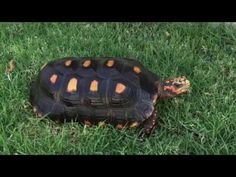 Most of us do not know how long do tortoises live. Life of all living organisms is given by God. Red Footed Tortoise, Tortoise Care, Russian Tortoise, Tortoises, Animal Jewelry, Pets, Turtles, Terrarium, Phoenix