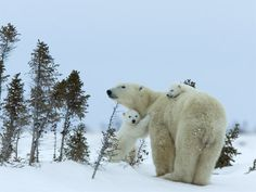 Polar Bear (Ursus Maritimus) Mother with Twin Cubs, Wapusk National Park, Churchill, Manitoba
