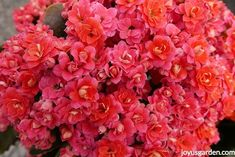 A Calandiva. Kalanchoes are popular succulent houseplants with colorful, long lasting blooms. Here's how to care for flowering kalanchoes, keep them going for the long haul & get them to bloom again. There's also a video to guide you.
