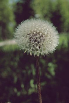 Photo listed in Macro Shot taken with Canon EOS Canon EF L + 2 shares and 4 likes. Macro Shots, Canon Ef, Dandelion, Plants, Vintage, Dandelions, Plant, Vintage Comics, Taraxacum Officinale