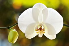 At home in a tropical shadehouse, moth orchids are more often found in bathrooms and living rooms around the country, and the blooms can last for up to three months. Feed fortnightly year-round and ensure they have rich, moist potting mix and warm, humid conditions in filtered light, away from direct sun.  Handyman Magazine 