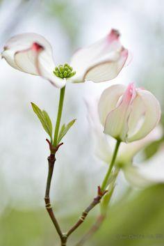 Cornus florida by Anna Omiotek-Tott