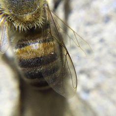 Fuzzy bee hind! #macro #olloclip #olloclipmacro #insect #weeklymobilemacro #nightmacro