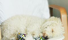 White Poodle Dozing in Chair