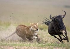 4 Days Kenya Lodge Safari Masai Mara Game Reserve And Lake Nakuru. African Animals, African Safari, Fun Facts About Lions, Lion Hunting, Blue Wildebeest, Tanzania Safari, Serengeti National Park, Wildlife Safari, Game Reserve