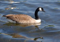 Beautiful Canadian goose in prettty blue water.