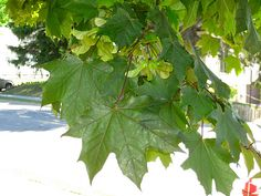 Maple: sugar in sap, protein and carbohydrates in seeds, minerals in leaves, carbohydrates in inner bark.