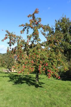 A neighbours cider apple tree which I harvested last year!