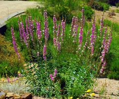 Snapdragon Penstemon (Penstemon palmeri) is just gorgeous in spring with tall spikes of fragrant, pink flowers that hummingbirds cannot resist.  This Southwestern native is drought-tolerant and hardy to zone 3.  Plant in well-drained soil.