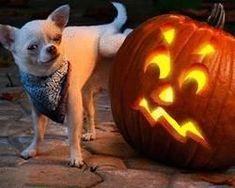 Naughty Chihuahua
