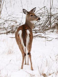 White-Tail Doe Deer
