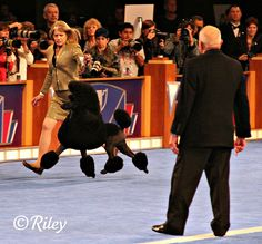 Silly humans - Poodle at a Dog Show #dogs #poodles