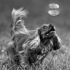 by Harold Blum - Animals - Dogs Portraits ( bubble, dogs, park, spaniel, black and white, play, chicago )